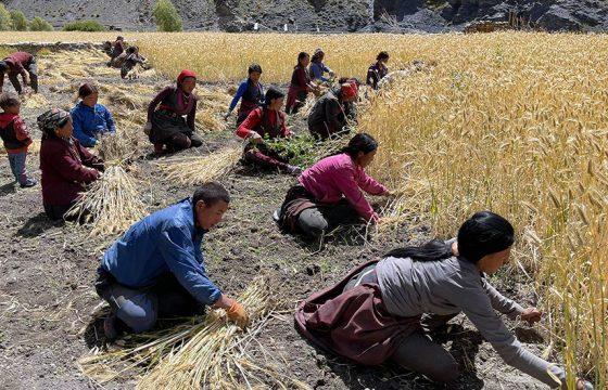 उपल्लो डोल्पाका किसानलाई उवा भित्र्याउने चटारो